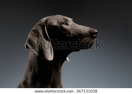 Close-up Portrait of Weimaraner dog in Profile view on white gradient background