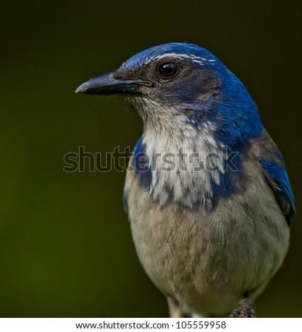 Close up portrait of Western Scrub Jay (Aphelocoma californica).  ??????? ????????????? ?????. - stock photo