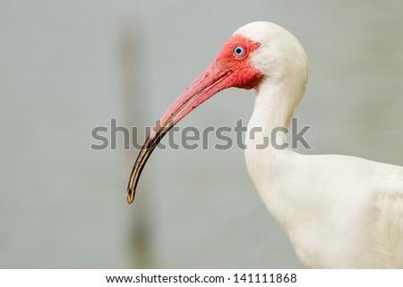 Close up portrait of white ibis, Eudocimus albus - stock photo