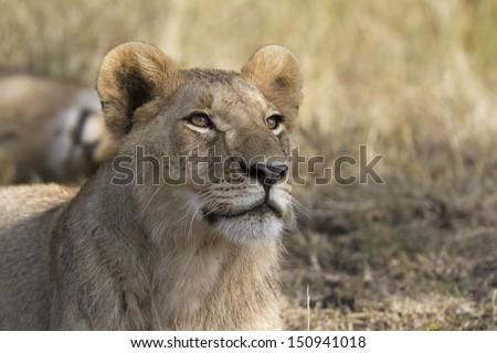 Close up portrait of wild lion - stock photo