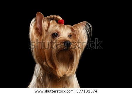 Close up Portrait of Yorkshire Terrier Dog with bow on head isolated on Black background