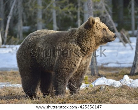 Close-up Portrait  of young Brown Bear (Ursus arctos) on a swamp in the spring forest