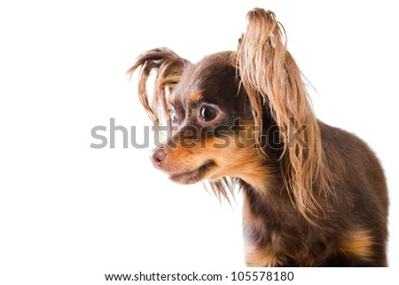 -up portrait of young pedigree dog of Moscow long-haired toy terrier ...