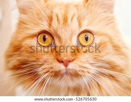 close up portrait of young red curious cat  eyes wide open