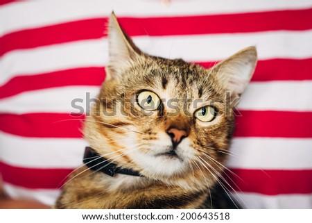 Close Up Portrait Peaceful Tabby Male Kitten Cat - stock photo