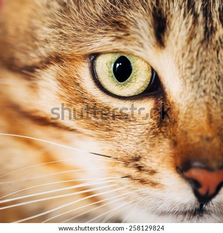 Close Up Portrait Peaceful Tabby Male Kitten Cat Eye, Face, Snout - stock photo
