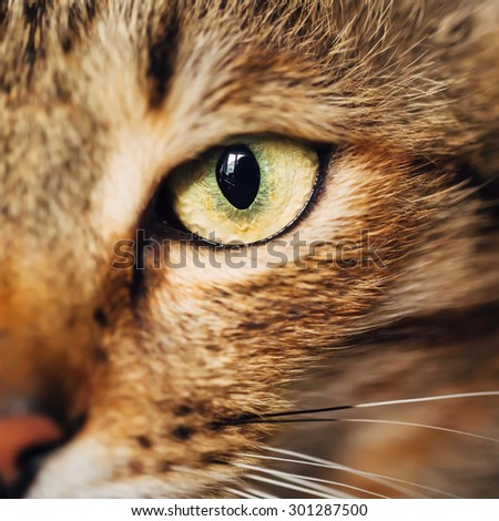 Close Up Portrait Peaceful Tabby Male Kitten Cat Eye, Face, Snout - stock photo
