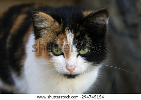 close-up portrait tricolor cat on the porch of the village in the spring