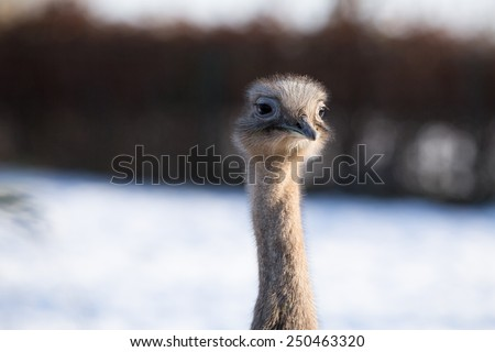 Close up profile of Darwin's Rhea in the snow - stock photo