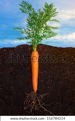 Close up Profile of Fresh Carrot Growing with Underground View of Roots and Above Ground View of Green Leafy Top over Sky Panorama. Clean eating diet concept - stock photo