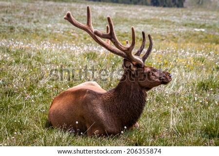Close up profile of large male bull elk laying in yellow wildflowers in high mountain meadow - stock photo