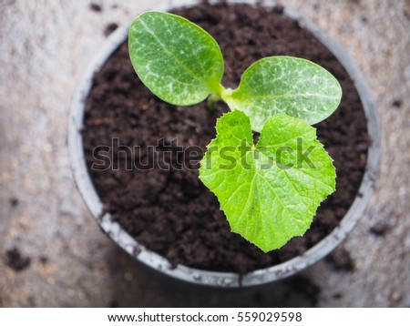 Close up pumpkin sprouts growing in plantpot background