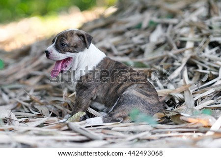 close up puppy pit bull  dog - stock photo