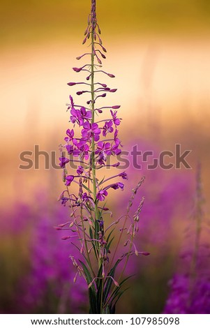 close up purple forest flower in sunset time; colorful soft focus