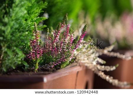 Close up purple heather in flower pot - stock photo