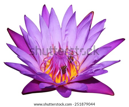 Close-up purple lotus and bee isolate on white background - stock photo