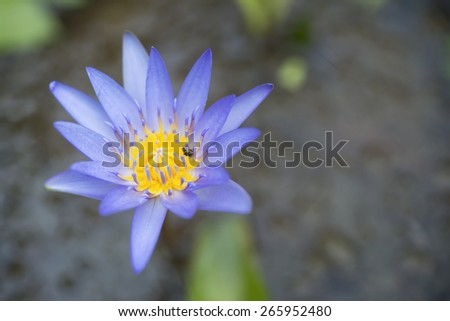 Close-up purple lotus in garden with blurred background. - stock photo