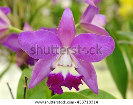 Close-up purple orchids - stock photo