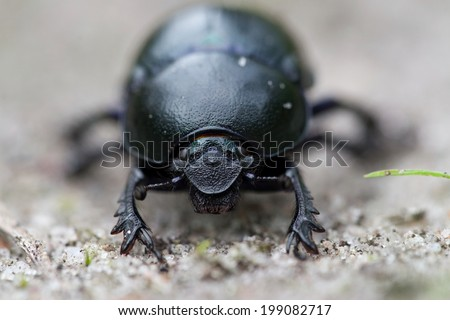 close up recording of a dung beetle in the nature area de Veluwe in Netherlands