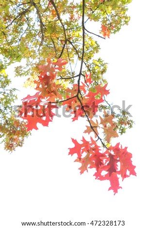 Close up red autumn leaves isolated on white background