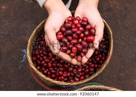 Close up red berries coffee beans on agriculturist hand basket background - stock photo
