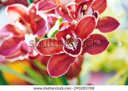Close-up red brawn orchid flower bud with bird like inner shape of petal. Shallow DOF - stock photo