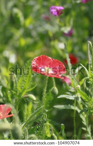 Close up  red corn poppy   in  green  field
