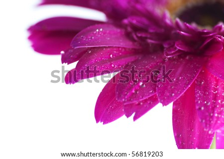Close up Red Gerber Daisy. Shallow depth of field. - stock photo
