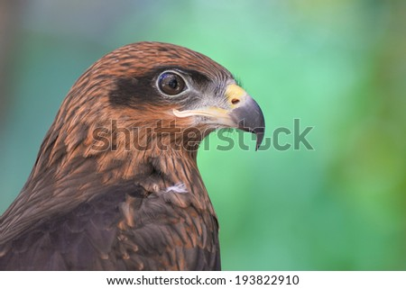 Close up red Hawk - stock photo