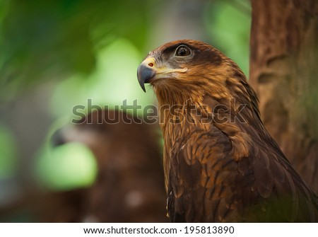 Close up red Hawk. - stock photo
