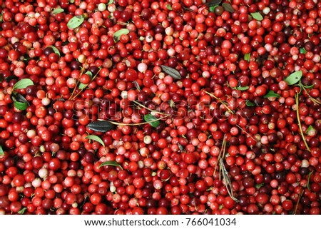 Close up red organic cranberry (cowberry, partridgeberry, foxberry) with leaves. Background of ripe cranberry (Lingonberry). Harvest berries of cranberry. Healthy ripe cranberry pattern as background