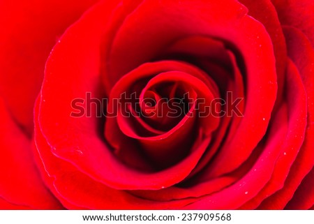 Close up red rose flower