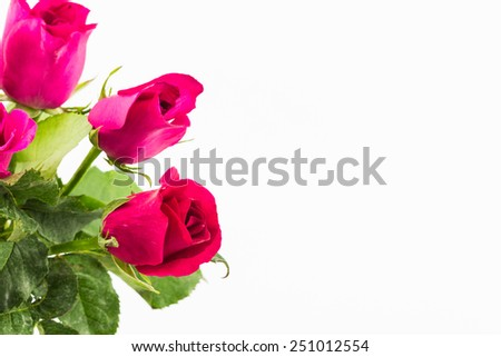Close up Red rose on white background. - stock photo