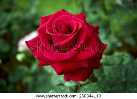Close up,Rose, flower