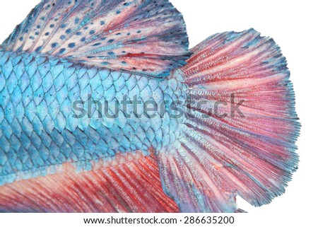 close up scale and tail of fight fish on white background - stock photo