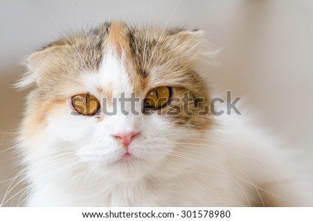 Close up Scottish fold cat. Soft focus.
