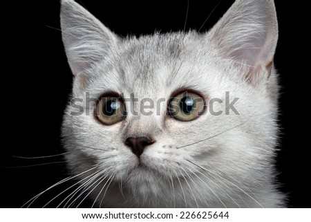 close-up scottish straight kitty