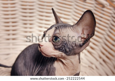 Close up Serious Gray Little Sphynx Cat Inside the Basket Looking at the Camera - stock photo