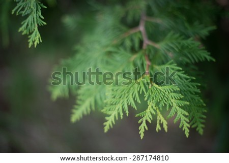 Close up, shallow depth of field of White Cedar -  Thuja Occidentalis  - stock photo