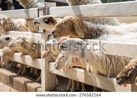Close up sheep in farm at Ratchaburi, Thailand - stock photo