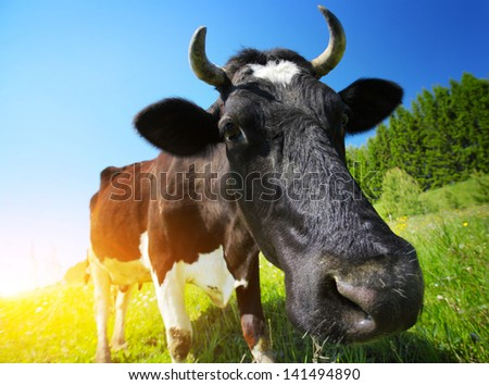 Close up shoot of a cow on a spring meadow in sunny day. Focus on the eye - stock photo