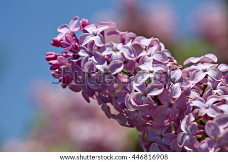 Close up shoot of the lilac branch, shallow focus - stock photo