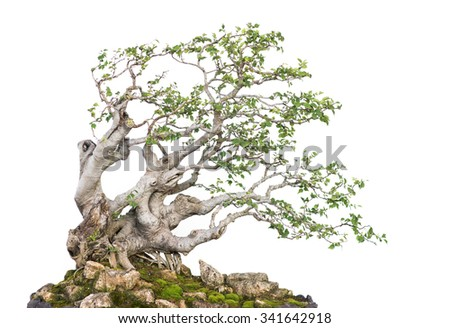 Close up shot bonsai on isolate white background