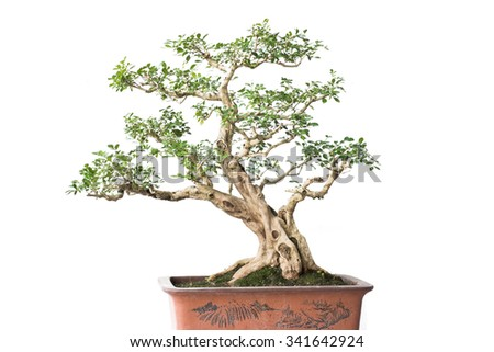 Close up shot bonsai on isolate white background - stock photo