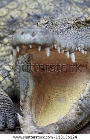 close up shot of a big crocodile. - stock photo