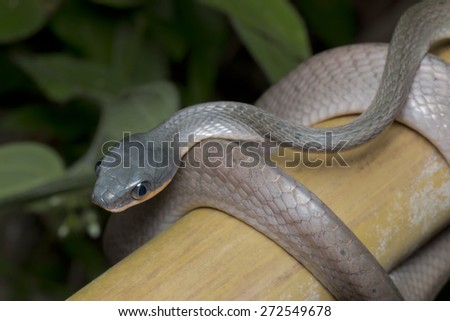 Close-up shot of a Black-headed Cat Snake - stock photo