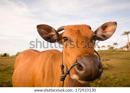 Close up shot of a brown domestic cow - stock photo