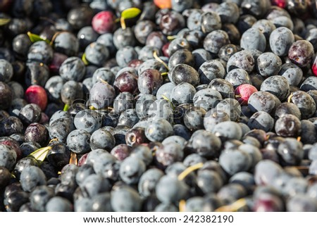 Close up shot of a bunch of dark colored olives at an olive harvest in Paso Robles, California - stock photo