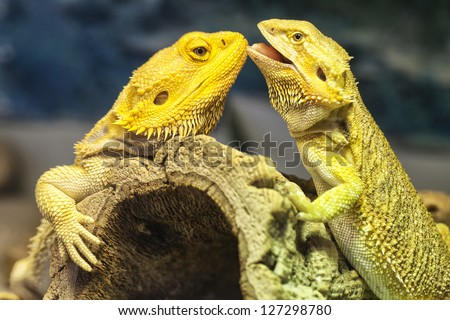 Close-up Shot of a couple of yellow lizards in love. - stock photo