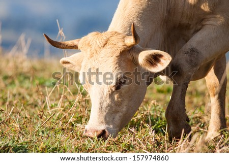 Close-up shot of a cow grazing on grass in a pasture, Queensland, Australia - stock photo